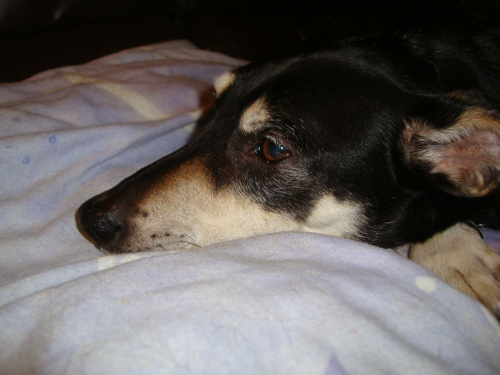 Albi Dog